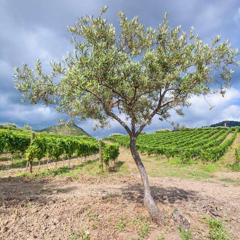 Olijfboom dichtbij wijngaarden in het gebied van Etna in Sicilië stock afbeeldingen