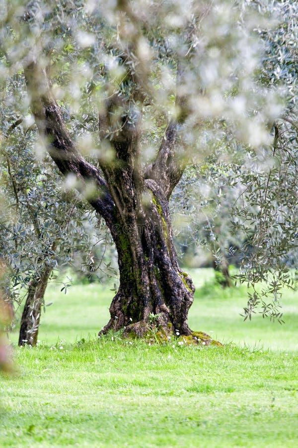 Olijfboom in een tuin Pistoia - Italië stock foto