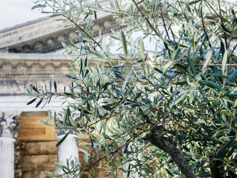 olijfboom en Maison Carree in de stad van Nîmes stock foto