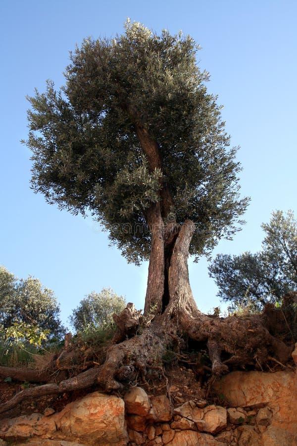 Olijfboom en wortels royalty-vrije stock fotografie