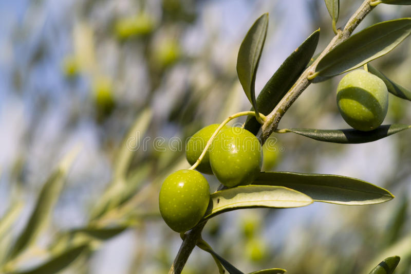 Olijfboom (europaea Olea) stock foto's