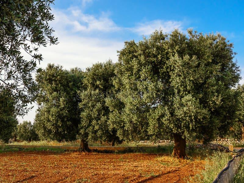 Olijfboom in het Salento-platteland van Puglia stock foto's