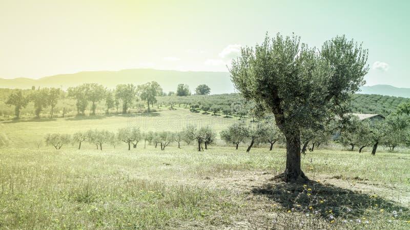 Olijfboom in Italië royalty-vrije stock fotografie