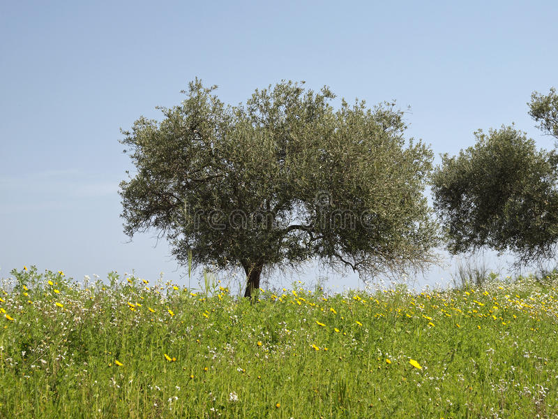 Olijfboom (Olea-europaea) Costa Rei, Sardinige, Italië royalty-vrije stock afbeelding
