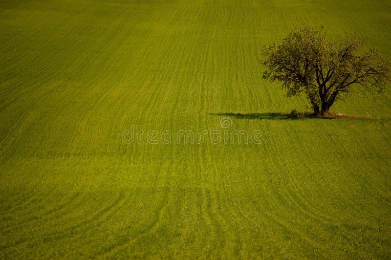 Olijfboom op het gebied stock afbeeldingen