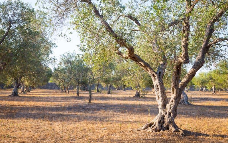 Olijfboom in Zuid-Italië stock foto