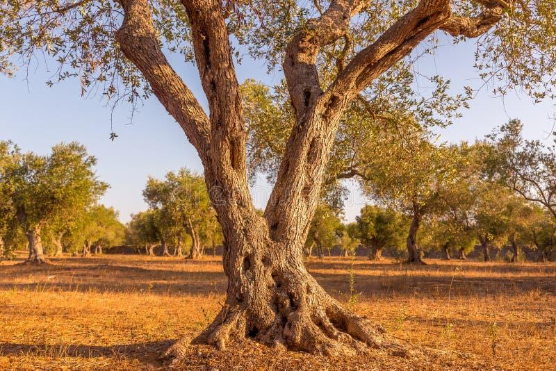 Olijfboom in Zuid-Italië royalty-vrije stock fotografie