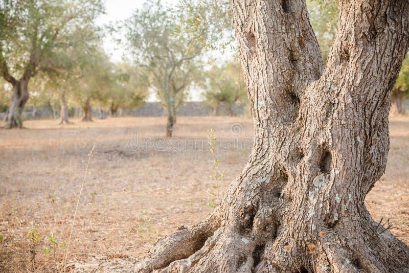 Olijfboom in Zuid-Italië royalty-vrije stock afbeelding