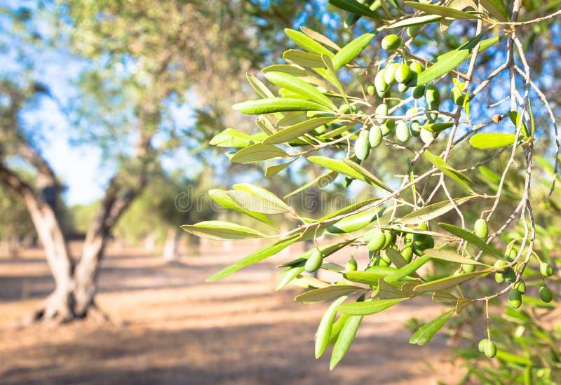 Olijfboom in Zuid-Italië stock afbeelding
