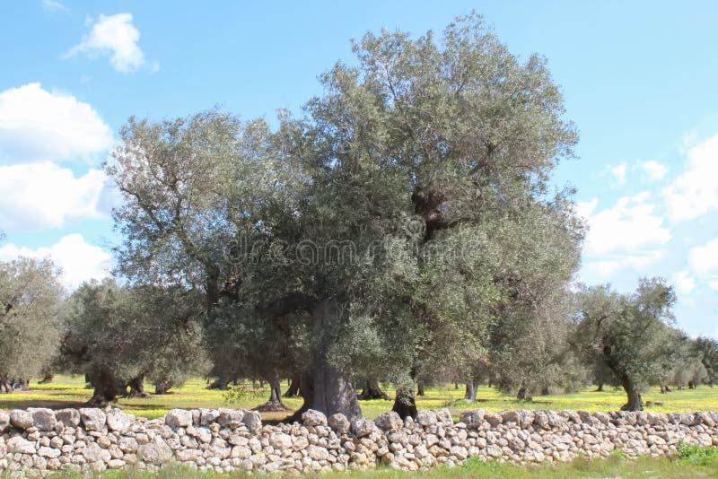 Olijfboomaanplanting en blauwe hemel van Salento, Apulia, Italië royalty-vrije stock afbeelding