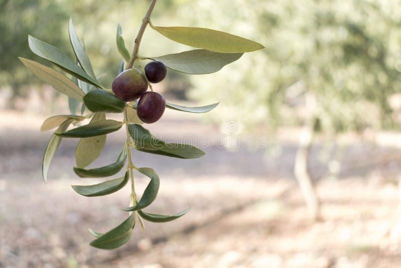 Olijfboomtak en vruchten stock foto