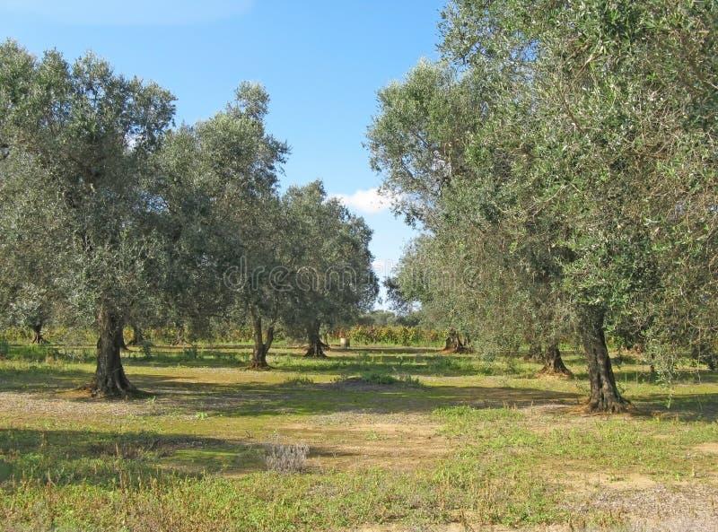 Olijfboomtuin in Puglia stock foto