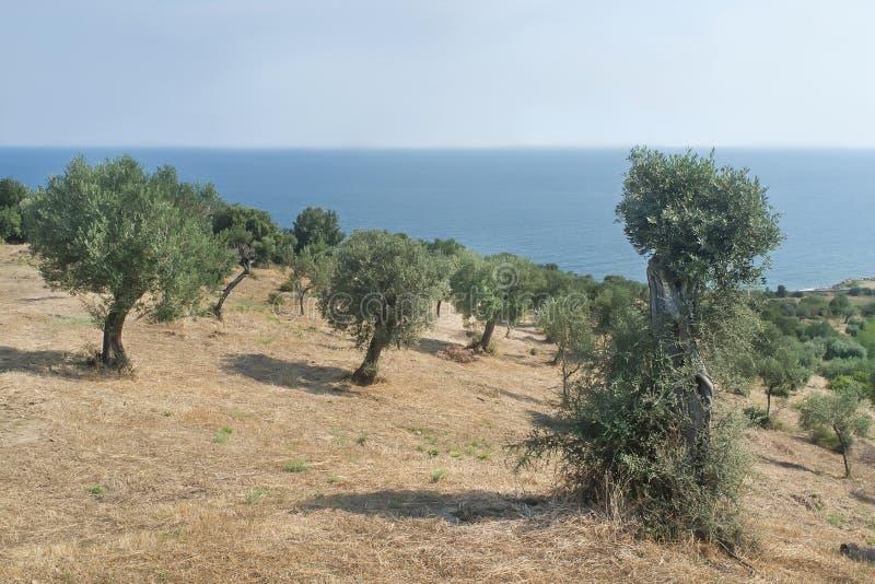 Olijfgaard bij de kust van Onderstel Athos stock fotografie