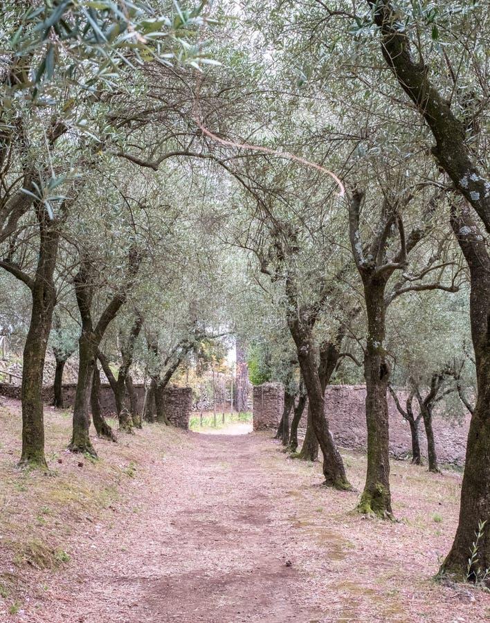 Olijfgaard in de tuinen van Villa Cimbrone op de Amalfi Kust, Ravello, Zuidelijk Italië royalty-vrije stock foto