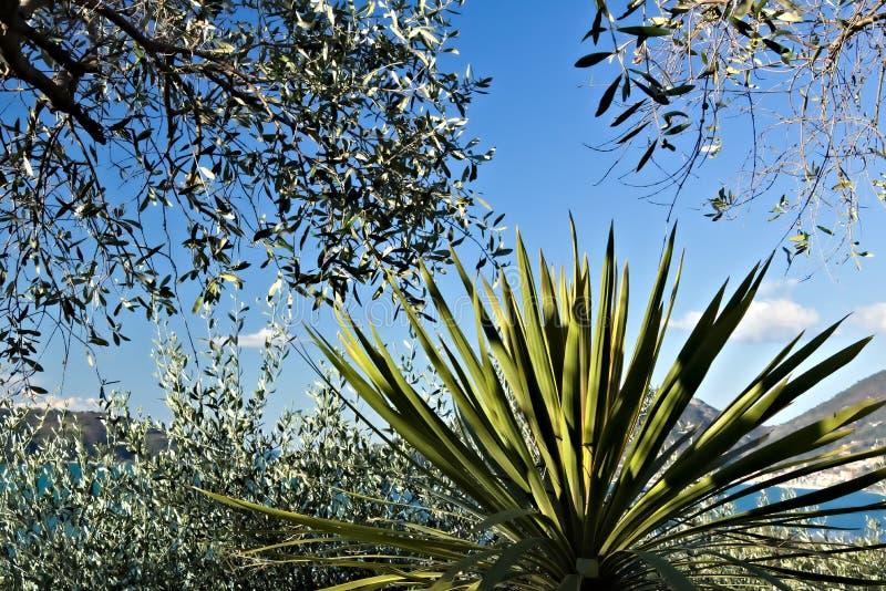 Olijfgaard en tuin met overzeese mening stock foto