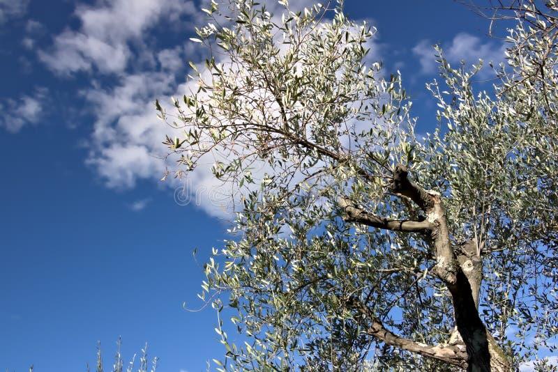 Olijfgaard en tuin met overzeese mening Een olijfboom met de achtergrond van een blauwe hemel stock fotografie