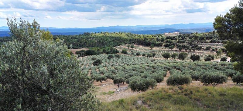 Olijfgaarden in de Provence, Zuiden van Frankrijk royalty-vrije stock foto