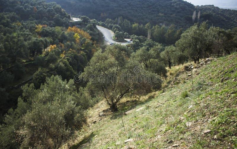 Olijfgebied op de heuvel royalty-vrije stock foto's