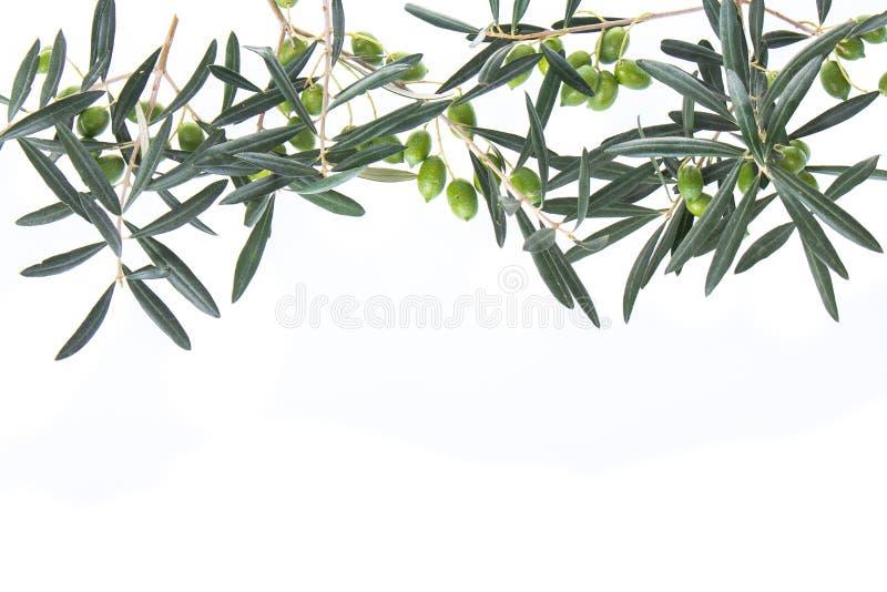 Olijftakken die neer hierboven hangen van Groene olijven met bladeren De ruimte van het exemplaar stock foto