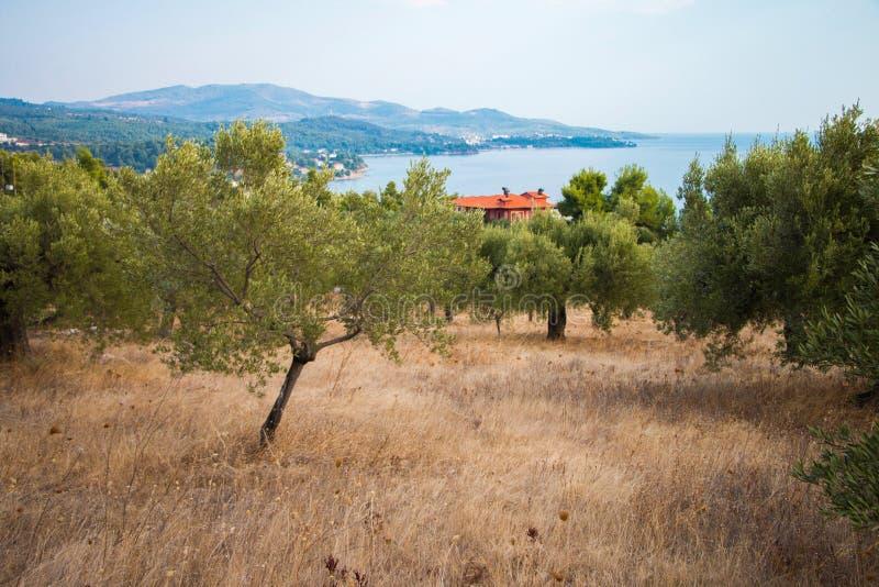 Olijftuin in Griekenland stock fotografie