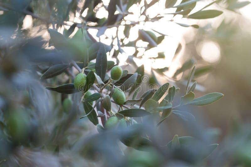 Olijven op een tak van een olijfboom Detailclose-up van groene fruitolijven met selectieve nadruk en ondiepe diepte van stock foto's