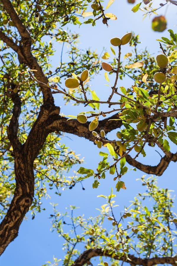 Olijven op tak van oude olijfboom stock afbeelding