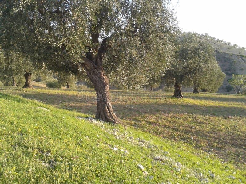 Olijvenboom royalty-vrije stock foto