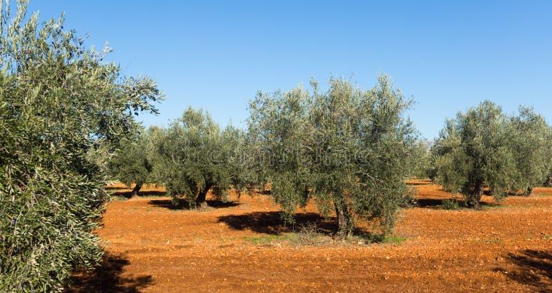 Olijveninstallatie bij gebied in zonnige dag stock afbeelding