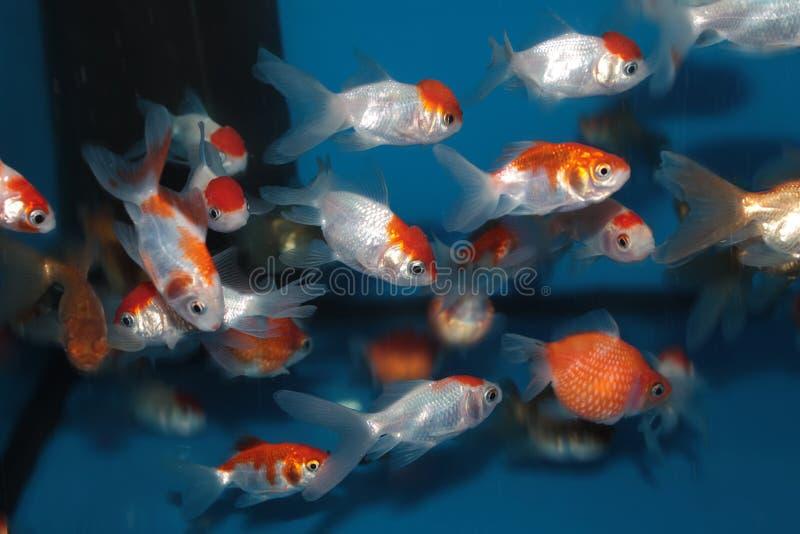 Olik art av guldfisken arkivbild
