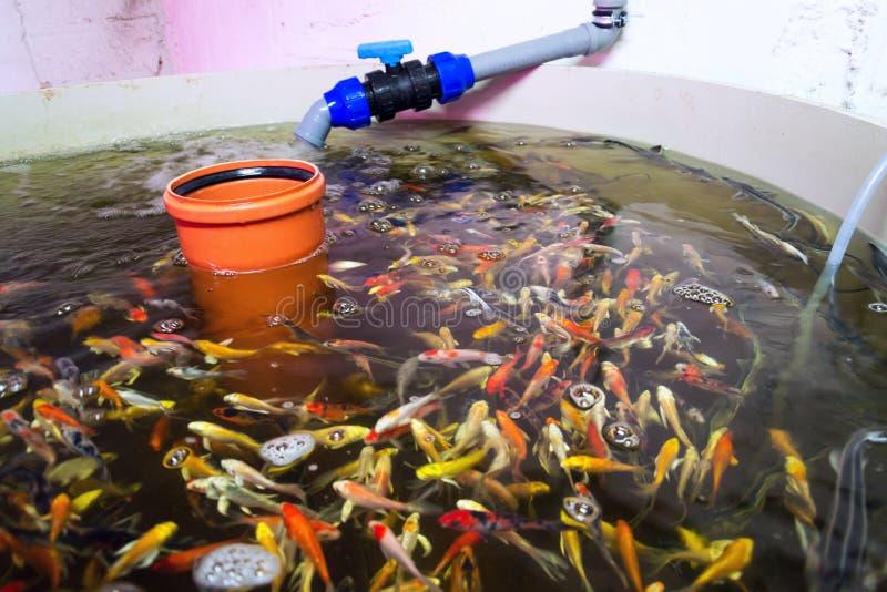 Olik fiskart i aquaponicssystemet, kombination av fiskvattenbruk med hydrokultur som odlar v?xter i vatten arkivbilder
