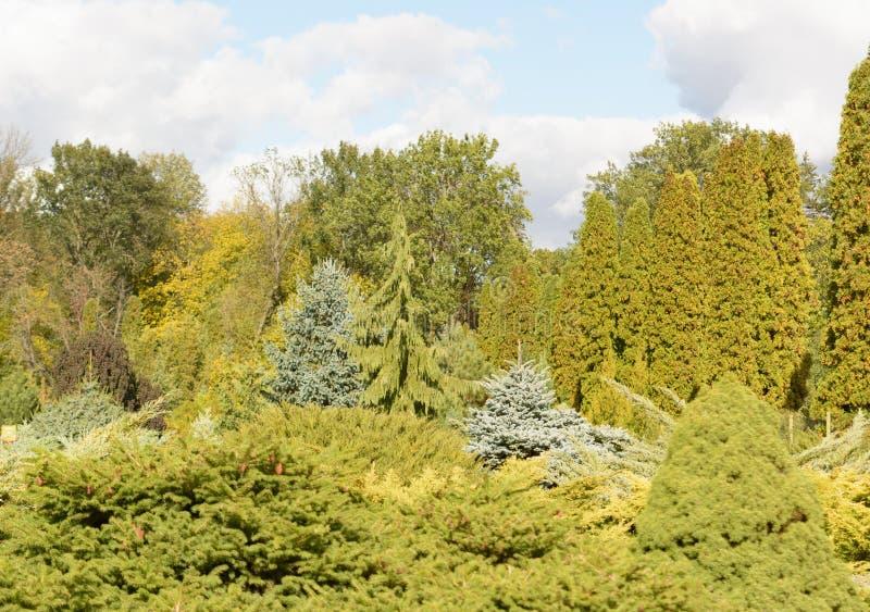 Olika avel av barrträd som är fullvuxna på konstgjorda kullar Filialen av botaniska trädgården av Keiv, Ukraina soligt fotografering för bildbyråer