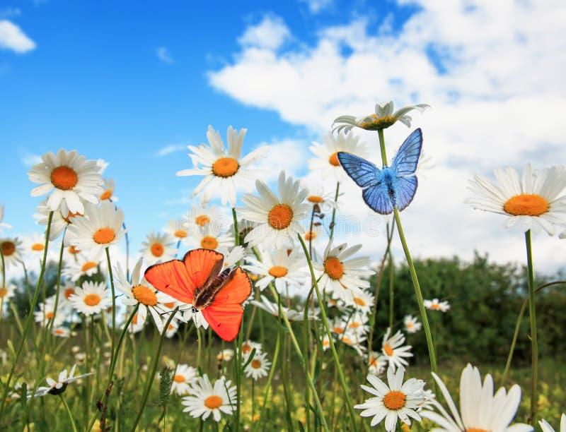 Olika härliga fjärilar som flyger över en äng på ljusa tusenskönor för vita blommor på en solig sommardag och att dricka nektaret royaltyfri foto