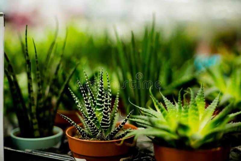 Olika kaktus- och suckulentväxter i olika krukor stänger sig upp Modern rumgarnering Kaktushuset planterar samlingen arkivbild