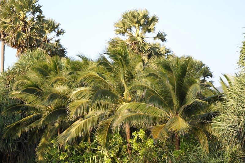 Olika palmträd fotografering för bildbyråer