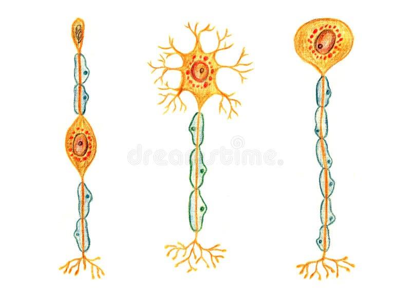 Olika sorter av neurons: Bipolär neuron, Multipolar neuron, Unipolar neuron fotografering för bildbyråer