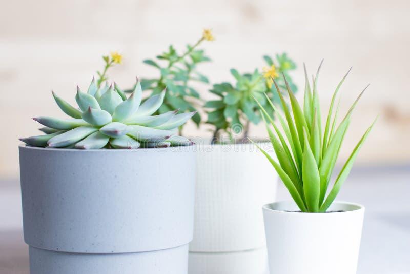 Olika suckulenter i enkla vita och gråa plast- krukor, closeup, hem- blommor inomhus royaltyfria bilder