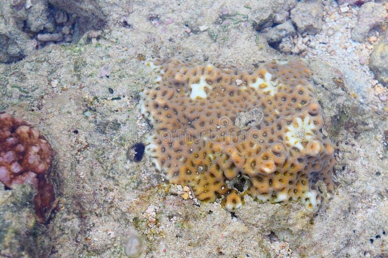Olika typer av undervattens- Coral Reef Colonies - Poritidae - abstrakta Marine Life Background - Andaman Nicobar öar royaltyfri foto