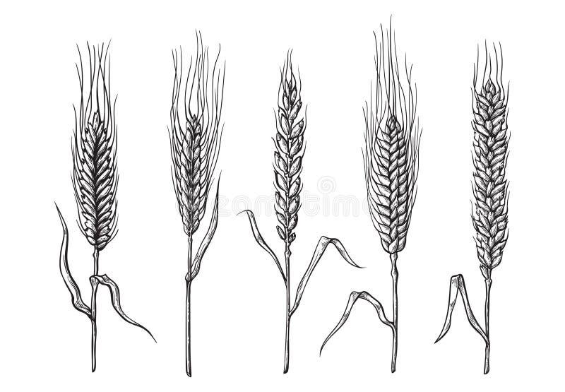 Olika variationer av vete som dras av handen Vektorn skissar stock illustrationer
