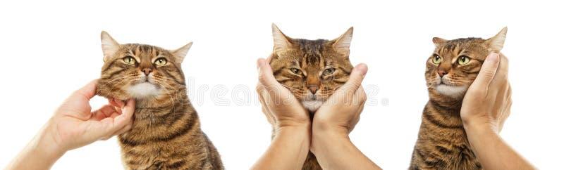 Olikt poserar av den randiga katten som isoleras på vit bakgrund arkivbild