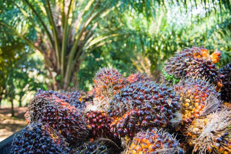Olio di palma fresco dal giardino della palma immagini stock libere da diritti