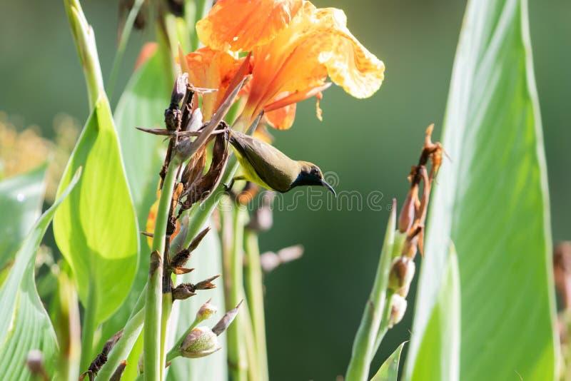 oliv-dragen tillbaka sunbird på den rosa blomman arkivbilder