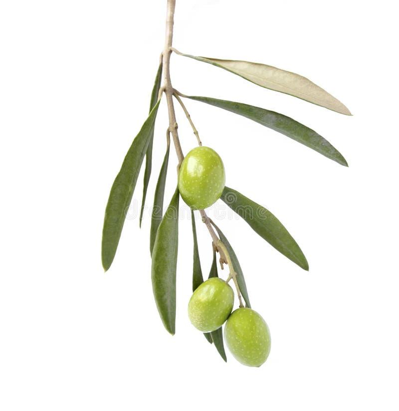 Oliv på filial arkivbilder