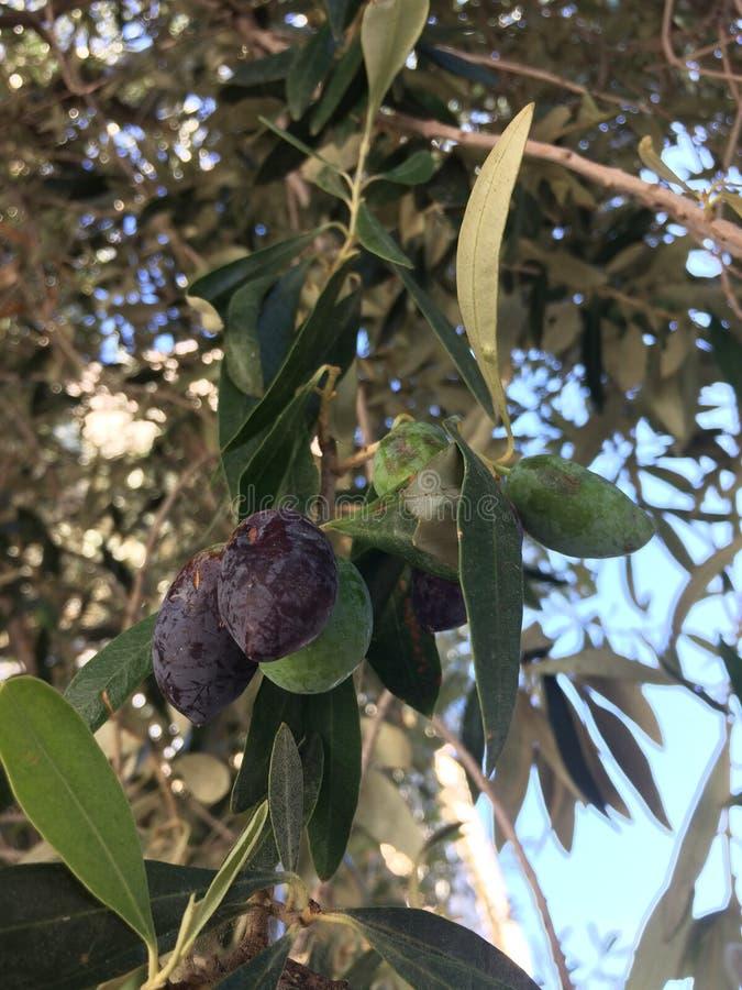 Oliv som mognas i trädet för trädgårds- tree för tid jordningsskörd för äpple mogen arkivbilder