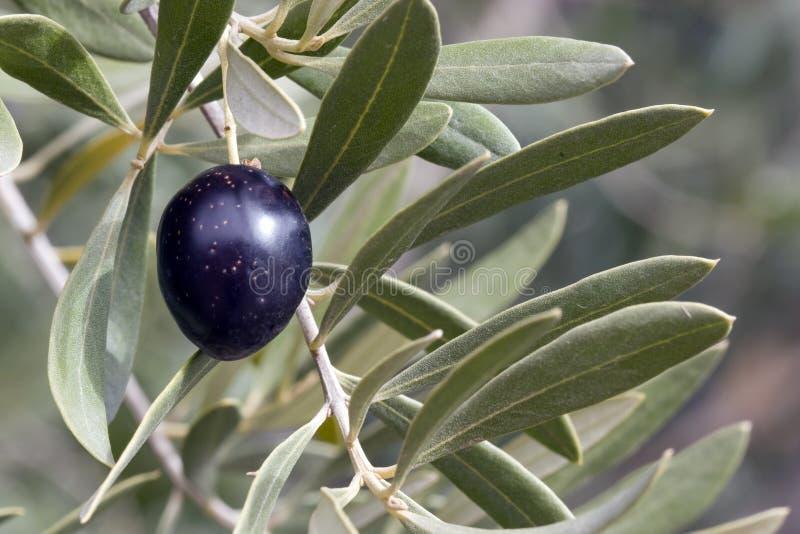 Oliva in albero - il nero immagini stock