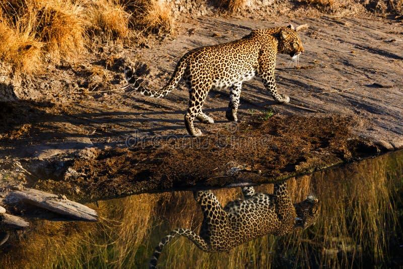 Oliva del leopardo, fiume di Talek, Masai Mara immagine stock libera da diritti
