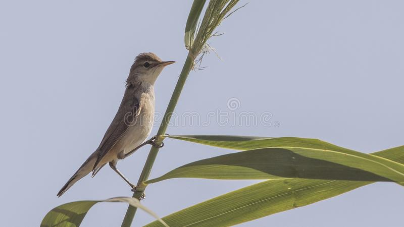 Olivaceous Warbler on Straw stock photos