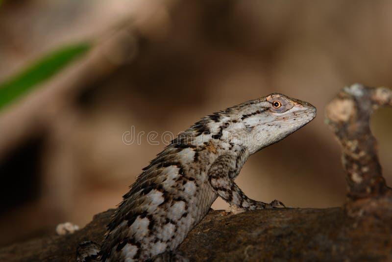 Olivaceus van Texas Spiny Lizard - Sceloporus-- op logboek De ruimte van het exemplaar stock afbeeldingen