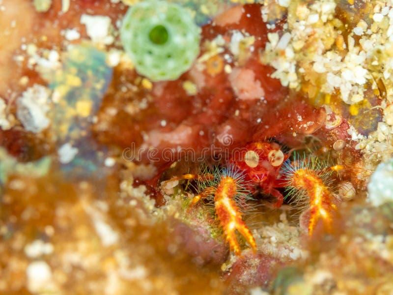 Olivar's squat lobster, Munida olivarae. Bangka island, North Sulawesi, Indonesia. Tiny but brightly coloured Olivar's squat lobster, Munida stock image