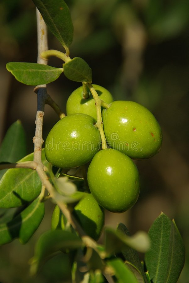 Olive 03 stock image