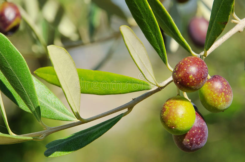 Download Olive stock photo. Image of branch, green, ripe, fresh - 24303308